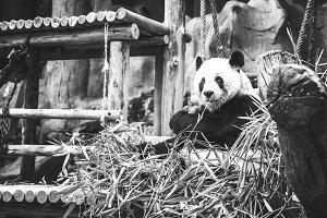 Big cute panda