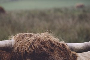 Highland Cow in north Scotland