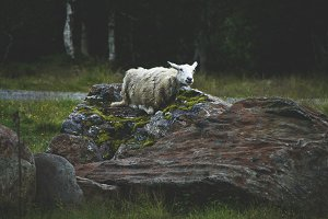Sheep on a rock, Norway