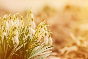 Spring snowdrop flowers blooming in sunset