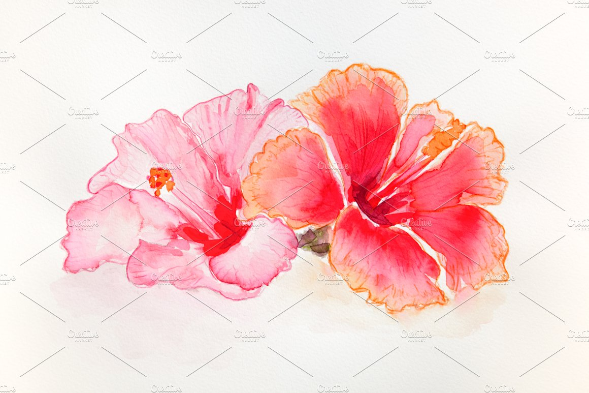 Hibiscus Flowers Watercolor Illustrations Creative Market