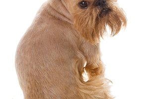 Dog breed Griffin