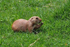 Prairie Dog Rodent Animal
