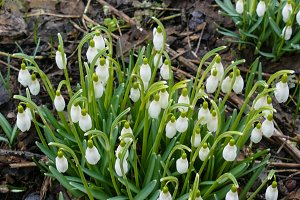 The first spring snowdrops