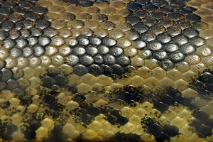 Anaconda Snake Skin