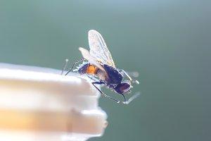 Housefly in sunlight