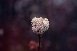 Viburnum bodnantense  close up