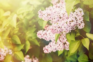 Pink lilac bush in sunset in spring