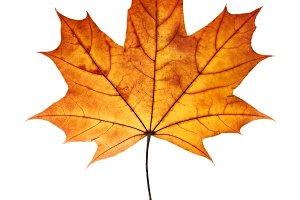 Autumn maple leaf isolated