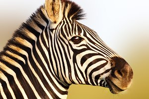 Zebra in soft golden sunlight