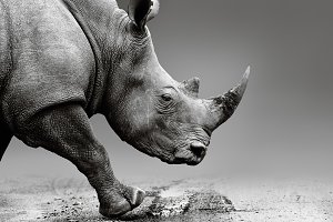 Rhino close up in Africa