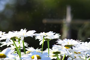 daisies abloom in a field of flowers