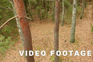 Trees in the Forest. Autumn daytime. Smooth dolly shot