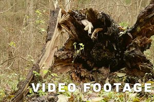 Fallen Tree in the Forest. Autumn daytime. Smooth dolly shot