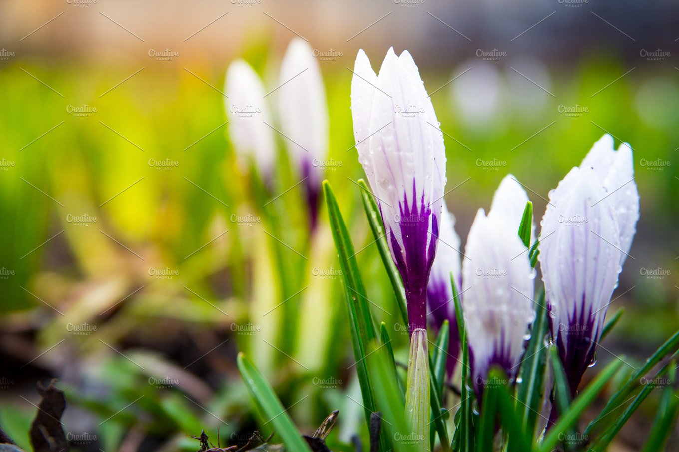 White Crocus Spring Flowers In The Forest Growing From The Ground