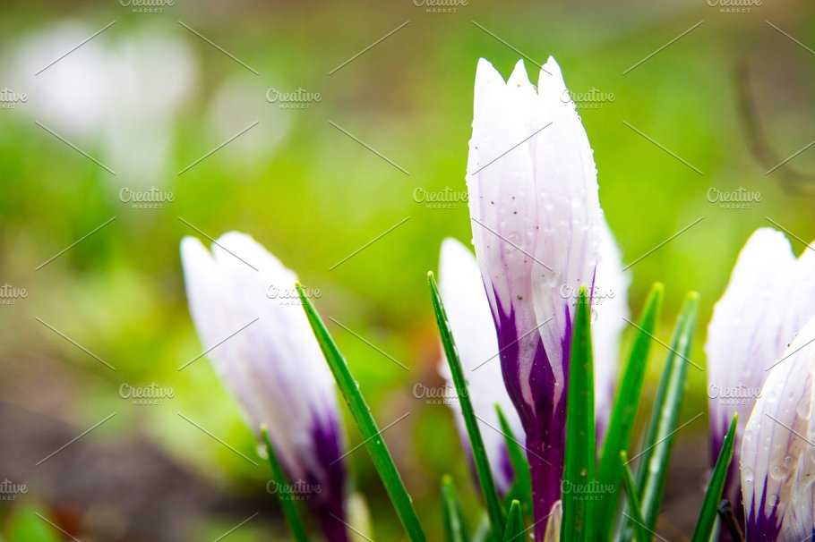 White crocus spring flowers in the forest growing from the ground white crocus spring flowers in the forest growing from the ground mightylinksfo
