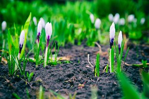 White crocus spring flowers in the forest. growing from the ground