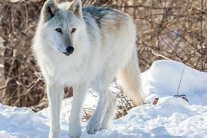 Rocky Mountain gray wolf