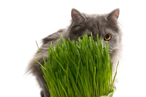 Little Persian kitten gray color