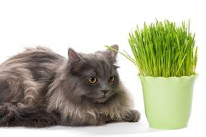 Persian kitten sits near grass