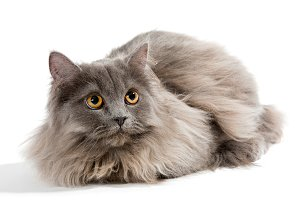 Little Persian kitten gray color