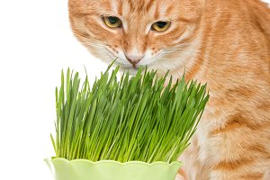 Red cat eats green grass