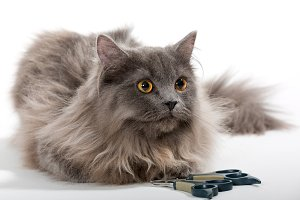 Grey Persian cat and scissors