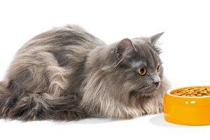 Persian cat sitting near the bowl