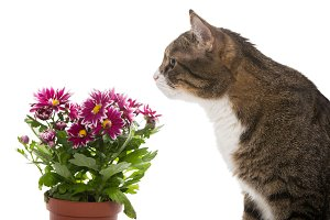 Grey cat and chrysanthemums