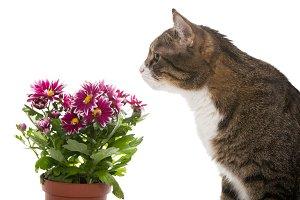 Grey cat and chrysanthemums