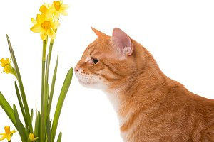 Cat is smelling the daffodils