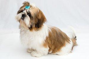 Shaggy puppy Shih Tzu