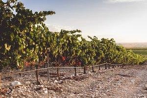 Sunset in the vineyards. La Rioja, S