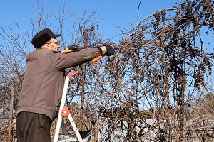 Senior elderly man gardener prunes bushes twigs