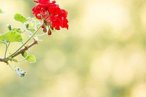 Red flower-Spring
