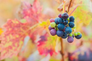 Bunch of red wine grapes