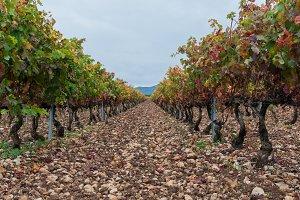 Vineyard landscape in La Rioja