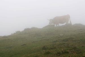 Cow in the fog