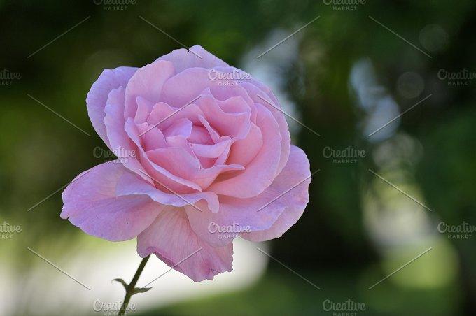 rosa.jpg - Nature