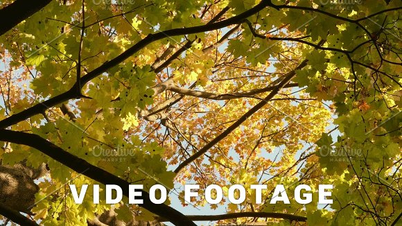 Colorful Maple Crown Autumn Daytime Smooth Dolly Shot
