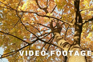 Colorful maple crown. Autumn daytime. Smooth dolly shot