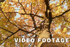 Up to the gold maple tree. Autumn daytime. Smooth dolly shot