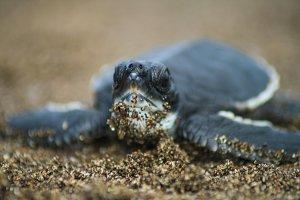 Turtle Prieta