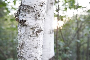 Birch trees in sunlight!