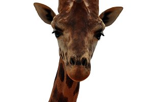 Baringo Giraffe Animal