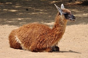 Guanaco Camelid Animal
