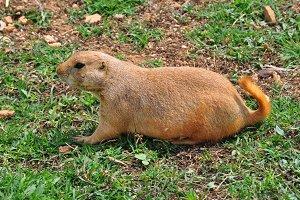 Prairie Dog Rodent