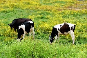 Small herd of cows
