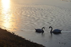 Swans on a frozen lake at sunset