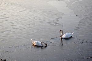 Swans on a frozen lake